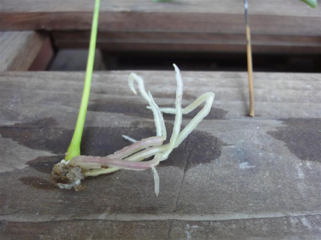 schefflera-vermehren-5